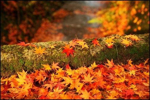 秋のもみじの画像