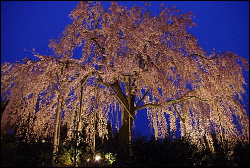 宇治市植物公園 枝垂桜の画像