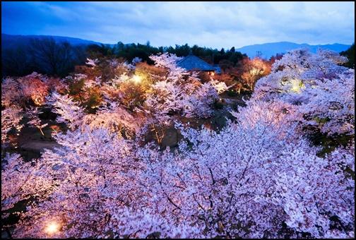 将軍塚青龍殿の桜の画像