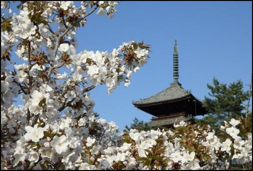 フリー 仁和寺と桜の画像