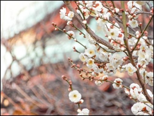 亀戸天神社の梅の画像