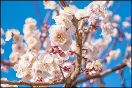 湯島天満宮の梅の画像