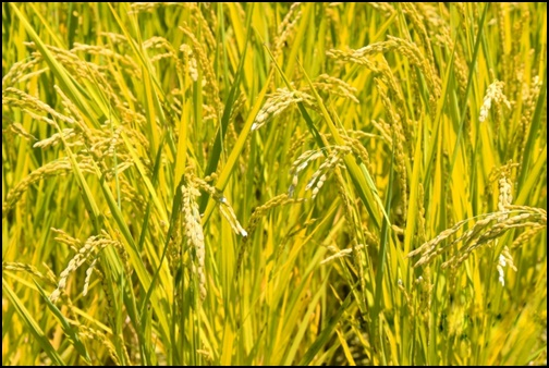 五穀豊穣の画像