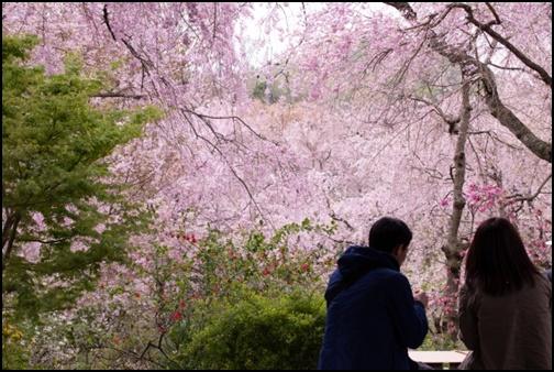 御室桜の画像