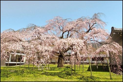 京都の醍醐寺のしだれ桜の画像