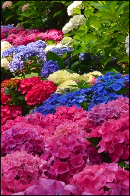 三室戸寺の紫陽花の画像