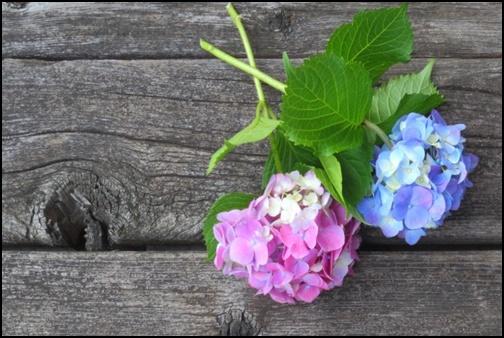 二輪の紫陽花の画像