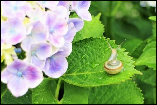 紫陽花と葉っぱとカタツムリの画像