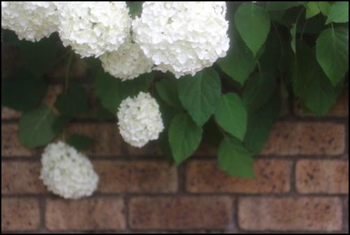 白い紫陽花の画像