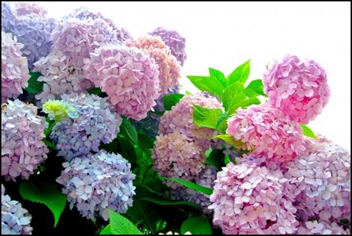 青と赤の紫陽花の画像