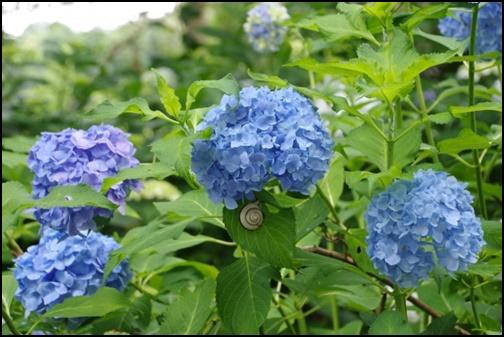 青い紫陽花とカタツムリの画像
