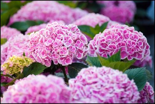 ピンクの紫陽花の画像