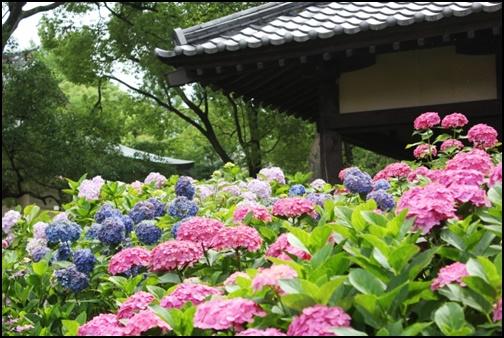 白・青・ピンクの紫陽花の画像