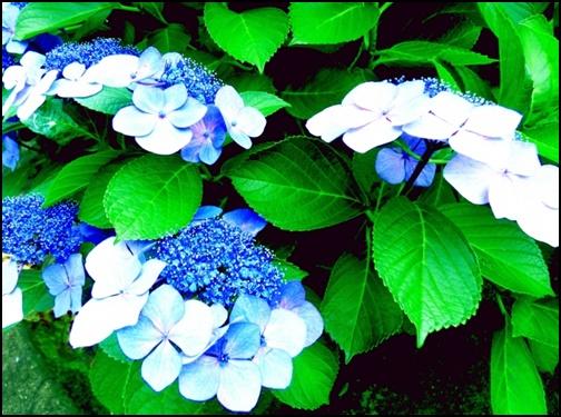ガク紫陽花の画像