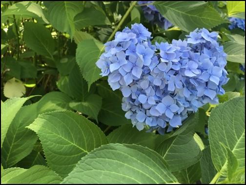 三室戸寺の青いハートの紫陽花の画像