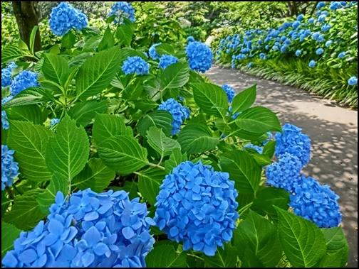 青い紫陽花の画像