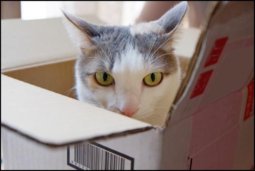 段ボールからこちらを見つめる猫の画像