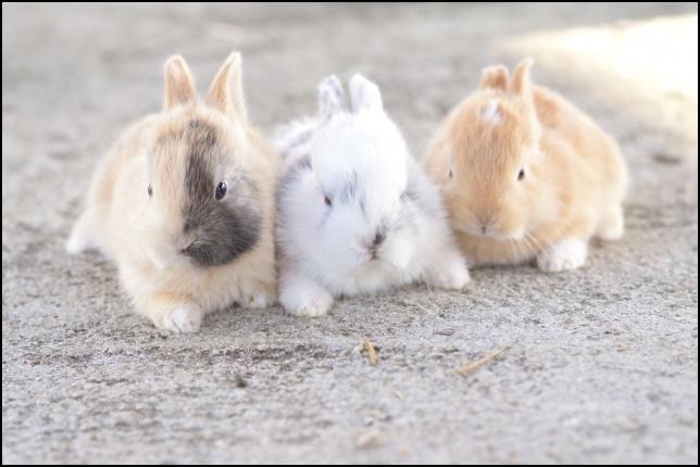 3匹の子ウサギの画像1
